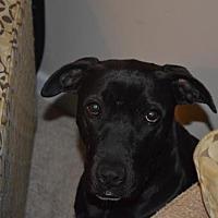 American Pit Bull Terrier/Labrador Retriever Mix Dog for adoption in Fulton, Missouri - Storm - Missouri