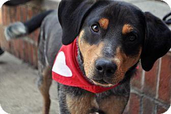 Shepherd (Unknown Type)/Hound (Unknown Type) Mix Dog for adoption in Fairfax Station, Virginia - Tobay