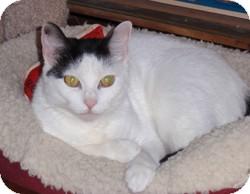 Domestic Shorthair Cat for adoption in Loudonville, New York - Vivian