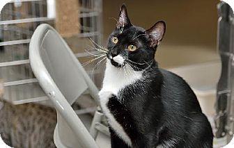 Domestic Shorthair Cat for adoption in Philadelphia, Pennsylvania - Tyler