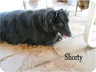 Dachshund Dog for adoption in Tucson, Arizona - Shorty