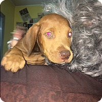 Adopt A Pet :: Latte - Henderson, KY
