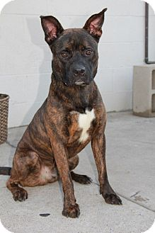 Pit Bull Terrier/German Shepherd Dog Mix Dog for adoption in Everett, Washington - Blake