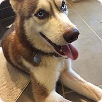 Adopt A Pet :: Brioche - Sugar Land, TX