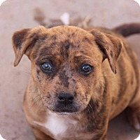 Adopt A Pet :: Apollo - Phoenix, AZ