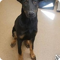 Adopt A Pet :: Ruger #164700 - Apple Valley, CA
