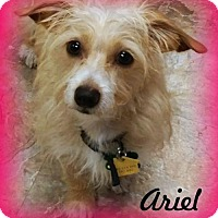 Adopt A Pet :: Ariel - Anaheim Hills, CA