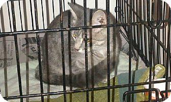 Domestic Shorthair Cat for adoption in Walnut, Iowa - Gracie