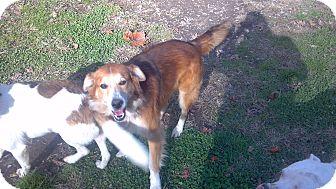 Collie Mix Dog for adoption in Hazard, Kentucky - Murphy