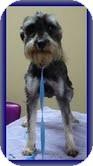 Schnauzer (Miniature) Dog for adoption in Hagerstown, Maryland - Pip