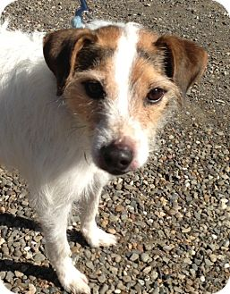Jack Russell Terrier Dog for adoption in Rhinebeck, New York - Annabelle