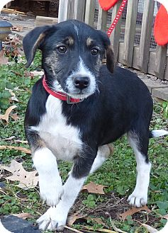 Feist/Boxer Mix Puppy for adoption in Bedminster, New Jersey - Dancer