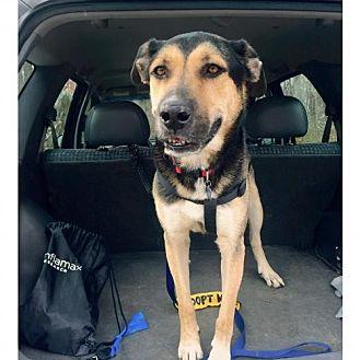 German Shepherd Dog Mix Dog for adoption in Matawan, New Jersey - Merlin