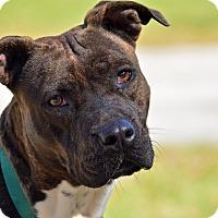 Adopt A Pet :: 10309657 BOSSY - Brooksville, FL
