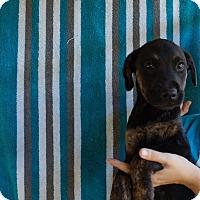 Adopt A Pet :: Bravo - Oviedo, FL