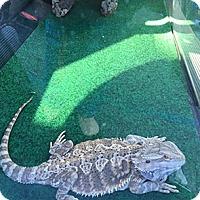 Adopt A Pet :: Prince - Patterson, NY