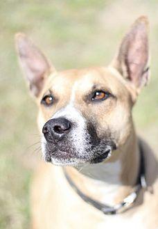 Boxer/Shepherd (Unknown Type) Mix Dog for adoption in Fresno, California - Tess