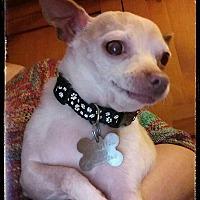 Chihuahua Mix Dog for adoption in Eugene, Oregon - Baker