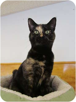 Domestic Shorthair Cat for adoption in Pascoag, Rhode Island - Petunia