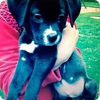Adopt A Pet :: Baby Bolt - Marlton, NJ