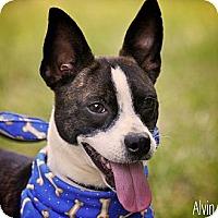 Adopt A Pet :: Alvin - Albany, NY