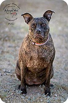 Cattle Dog/Boxer Mix Dog for adoption in Chandler, Arizona - PORTIA
