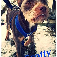 Adopt A Pet :: Scotty ~ Adoption Pending - Youngstown, OH