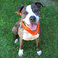 Boxer/American Staffordshire Terrier Mix Dog for adoption in Los Angeles, California - Handsome Dexter-VIDEOS