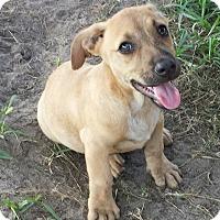 Adopt A Pet :: Little Romeo - Orange Lake, FL