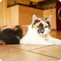 Domestic Shorthair Cat for adoption in Trevose, Pennsylvania - Lylah