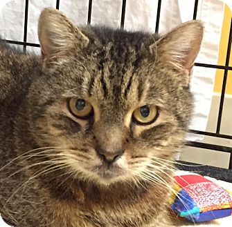 Domestic Shorthair Cat for adoption in Norwalk, Connecticut - Sniffles