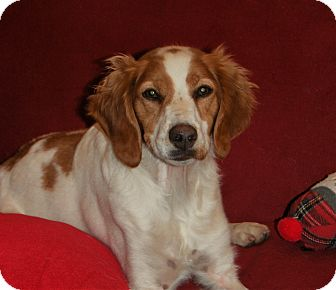 Brittany Dog for adoption in Minot, North Dakota - Loes
