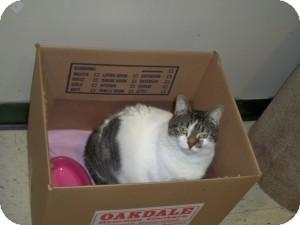 Domestic Shorthair Cat for adoption in Meriden, Connecticut - Romona