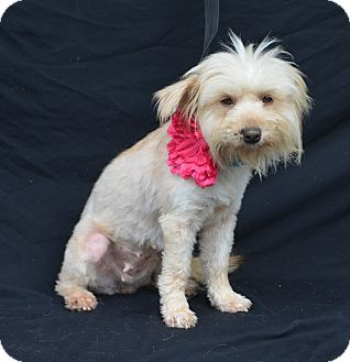 Terrier (Unknown Type, Small) Mix Dog for adoption in Plano, Texas - Maxi