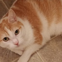 Domestic Shorthair Cat for adoption in Tampa, Florida - Jiffy