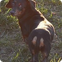 Adopt A Pet :: Laurel - Prole, IA