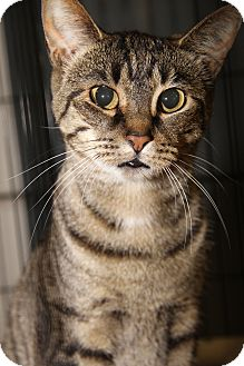 Domestic Shorthair Cat for adoption in Marietta, Ohio - Daisy (Spayed)