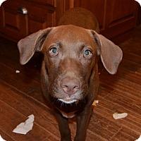Adopt A Pet :: Bean (Sweet Girl) - Glastonbury, CT