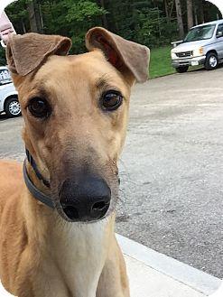 Greyhound Dog for adoption in Swanzey, New Hampshire - Joker