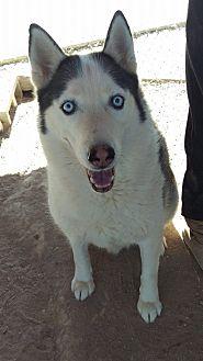 Siberian Husky Dog for adoption in Las Vegas, Nevada - Snoopy