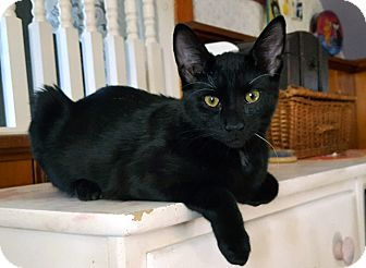 Domestic Shorthair Cat for adoption in Little Falls, New Jersey - Ringo (JT)