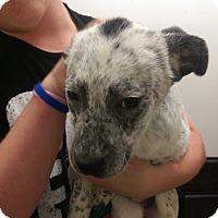 Adopt A Pet :: Shakira - Ogden, UT