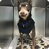 Adopt A Pet :: Dillon - Bradenton, FL
