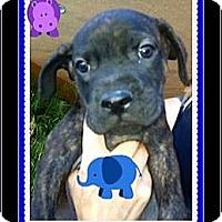 Adopt A Pet :: Guy - Scottsdale, AZ