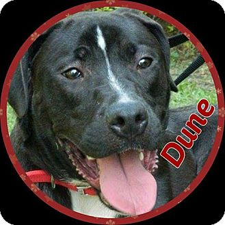 Great Dane/Labrador Retriever Mix Dog for adoption in Newnan, Georgia - Dune