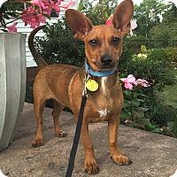 Adopt A Pet :: *Chester - PENDING - Westport, CT