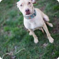 Adopt A Pet :: Cashmere - Reisterstown, MD