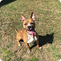 Adopt A Pet :: Bolt - Colonial Heights animal shelter, VA