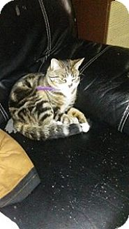 Domestic Shorthair Cat for adoption in Acushnet, Massachusetts - Nils