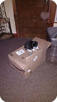 Domestic Shorthair Kitten for adoption in Covington, Pennsylvania - Mindy